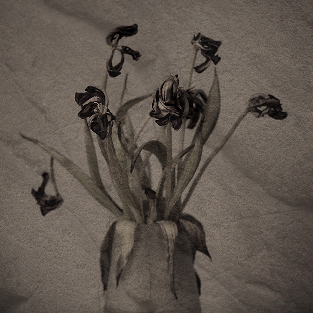 ©ninnie.schroder_tulips